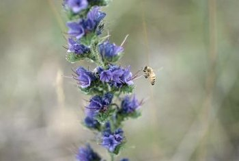 Purple flowers attract bees.