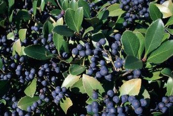 Blueberry bushes produce clumps of sweet fruit.