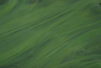 Algae varies from the long fronds of ocean seaweed to nearly microscopic freshwater plants.