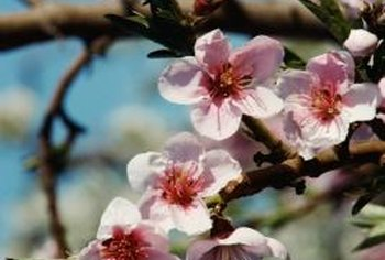 Cherry blossom trees tempt Japanese beetles from more than a mile away.