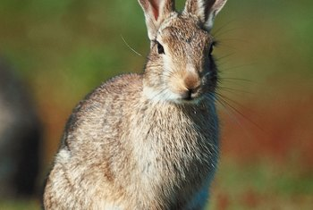 Rabbits feed mostly at night and are most prevalent during spring and summer.