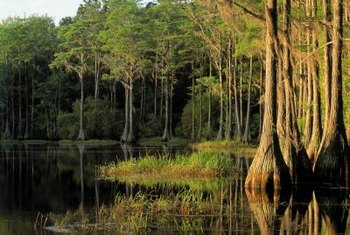 Cypress trees thrive in water, but the lumber has natural water resistance.