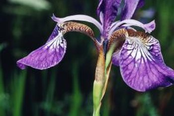 Irises are a spring-blooming rhizome that shouldn't be moved while flowering.