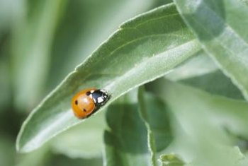 Diatomaceous earth also kills beneficial insects.