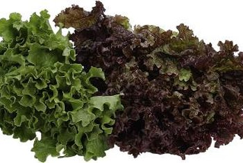 Both green and red leaf lettuce have loose, frilled leaves.
