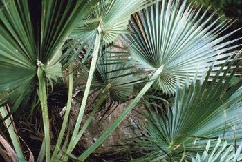Saw palmettos can often tolerate drought and salty soils.