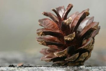 Dry pine cones make excellent fire starters and are readily available.