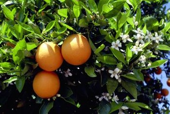 Fruits and flowers often decorate orange trees simultaneously.