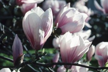 Highly fragrant magnolia blooms vary in color from white to pink and purple.
