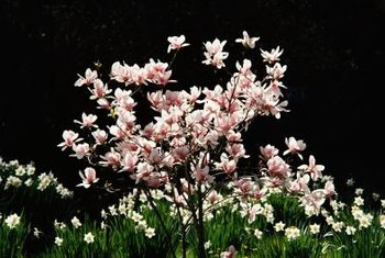 Opening magnolia blooms resemble butterflies taking flight, adding drama to the landscape.