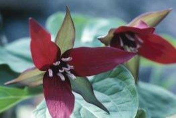Red Trillium Erectum Plant Care Home Guides Sf Gate