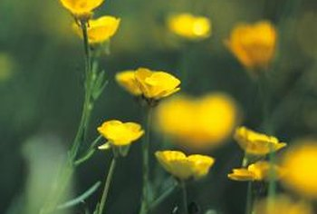 Buttercups have a single layer of petals, while ornametal varieties have many layers..