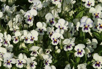 Pansies benefit from regular deadheading.