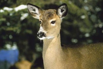 Deer will often crawl under a fence rather than jumping over it.