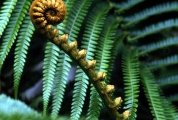 Ferns have no seeds; they reproduce through spores.