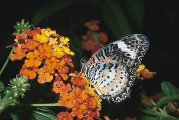 Potted lantana brings butterflies close to walkways and patios for viewing.
