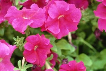 Petunias grow in many shades, including pink, purple, red and white.