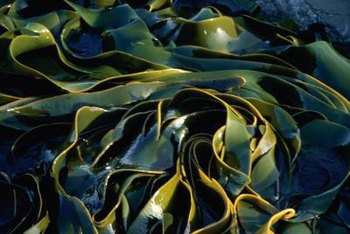 Sea kelp contains iron and magnesium.