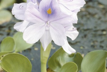 Water hyacinths are attractive but invasive.