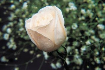 White roses are at higher risk of certain pest beetles than darker-colored varieties.