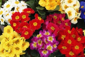Primroses bloom in a variety of bright colors.