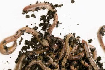 Worm excrement or castings are rich in beneficial nutrients.