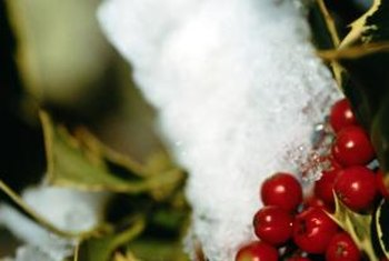 Holly berries are poisonous and should be removed where children are present.