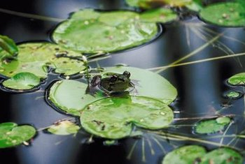 Floating plants provide a resting place for frogs.