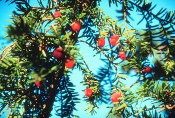 Juniper's evergreen boughs with bright red berries shelter and feed birds.