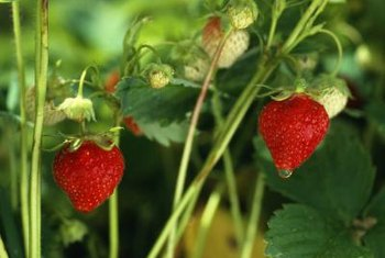 Strawberries grow happily in broad, shallow containers.