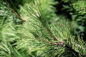 Healthy evergreen conifers have green needles on their branch tips.