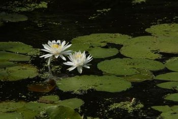 Plant water lilies only where they can't enter natural waterways.