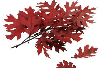 Red oak is named for its beautiful scarlet foliage in fall.