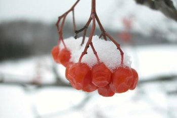 Bright red berries are vivid against a snowy backdrop.