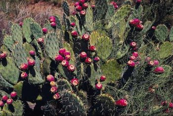 Close to 200 different species of nopal cacti exist.