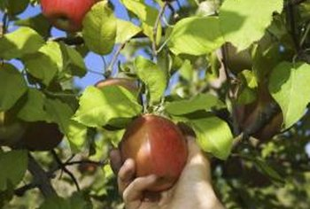 Dwarf fruit trees produce full size fruits.