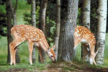 The speckled coats of young deer blend well with dappled shade.