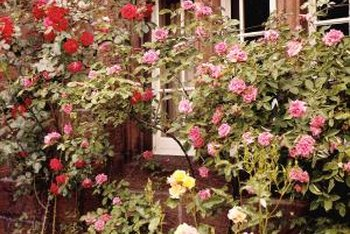 Healthy roses grow from well-tended plant crowns.