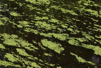 Duckweed thrives when conditions are right.