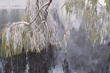 Ice can cause a weeping willow's branches to sag and break.