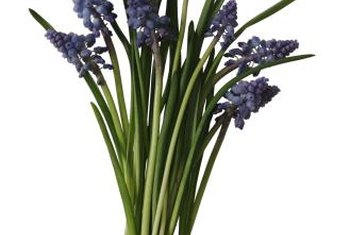 Blue grape hyacinths are in the Liliaceae family.