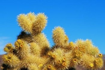 Although jumping cactuses appear soft and bushy, they are anything but.