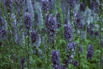 Purple flowers are just one characteristic of lavender bushes.