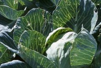 Cabbage and broccoli are vulnerable to some of the same pests.