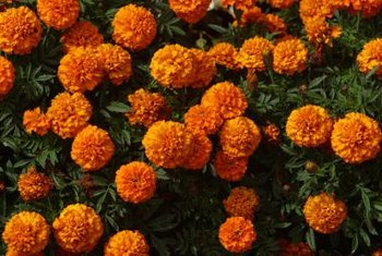 Marigolds fill a sunny spot with bright orange and yellow blooms.