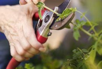 Use pruning shears to make a clean cut when taking cuttings for rooting.