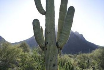 A taproot helps to anchor a mature, 6-ton, saguaro cactus.