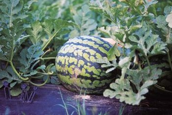 You can grow your own watermelon in a self-watering container.