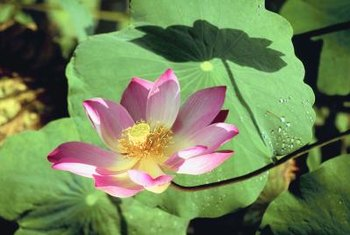 Lotus flowers possess a distinctive circular yellow receptacle.