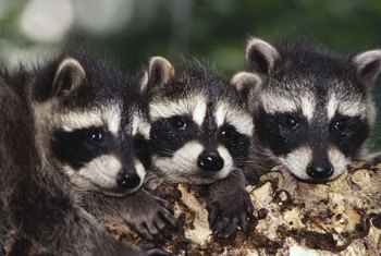 Though cute, raccoons can be destructive.